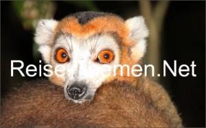 lemuren-affe-7-copyright-karsten-thilo-raab-ko_470